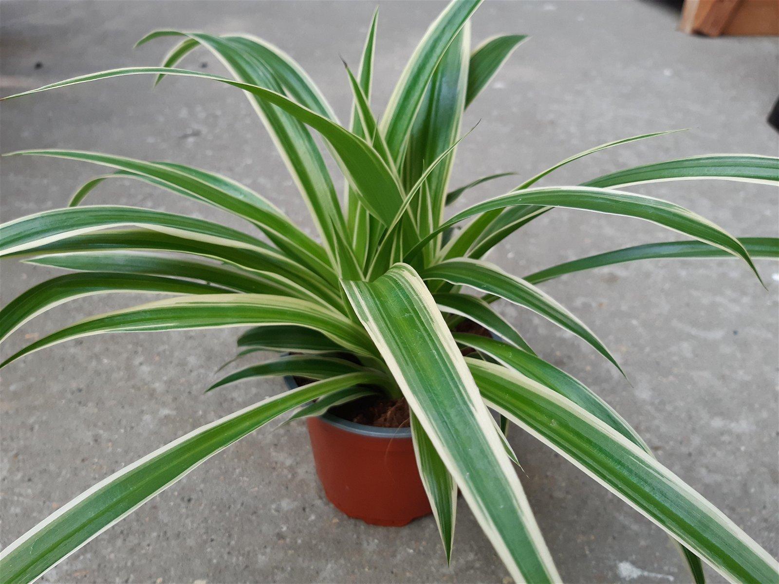 Væddeløber - Chlorophytum comosum