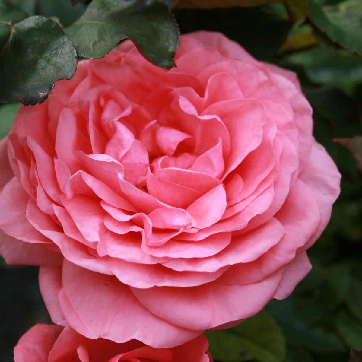 Rose 'Elaine Paige'