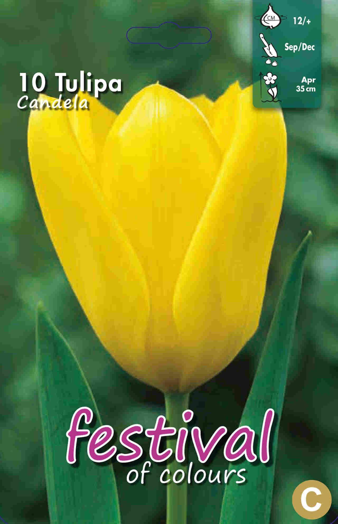 Tulipanløg - Tulipa Candela 12/+