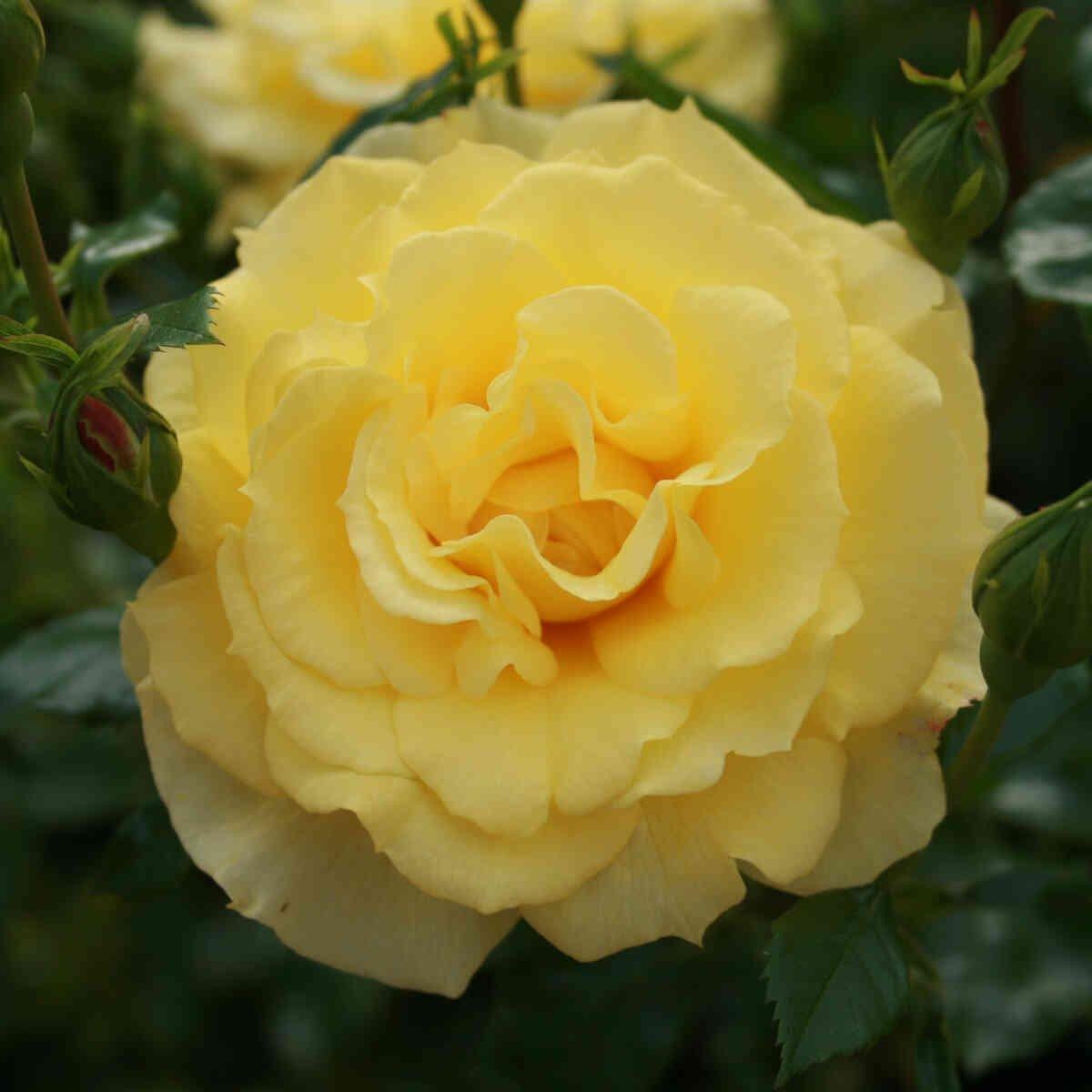 Rose 'Viborg'