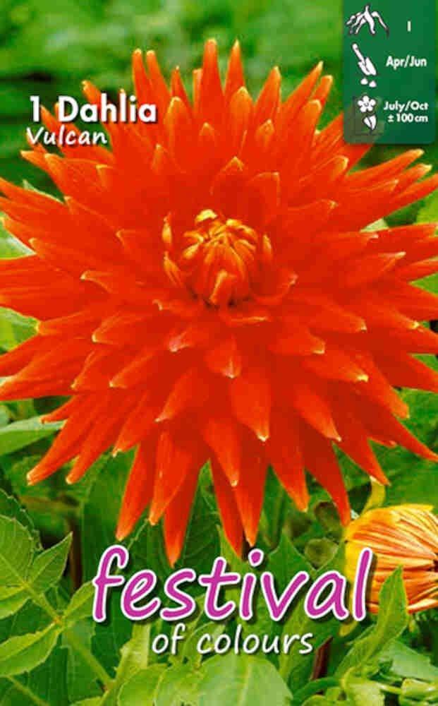 Dahlia Vulcan Cactus