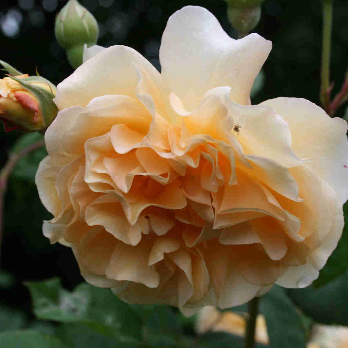 Helt gul blomst i moschata rosen Buff Beauty
