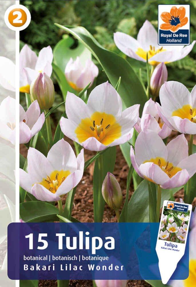 Tulipanløg - Tulipa bakeri Lilac Wonder 5/+, 15 stk