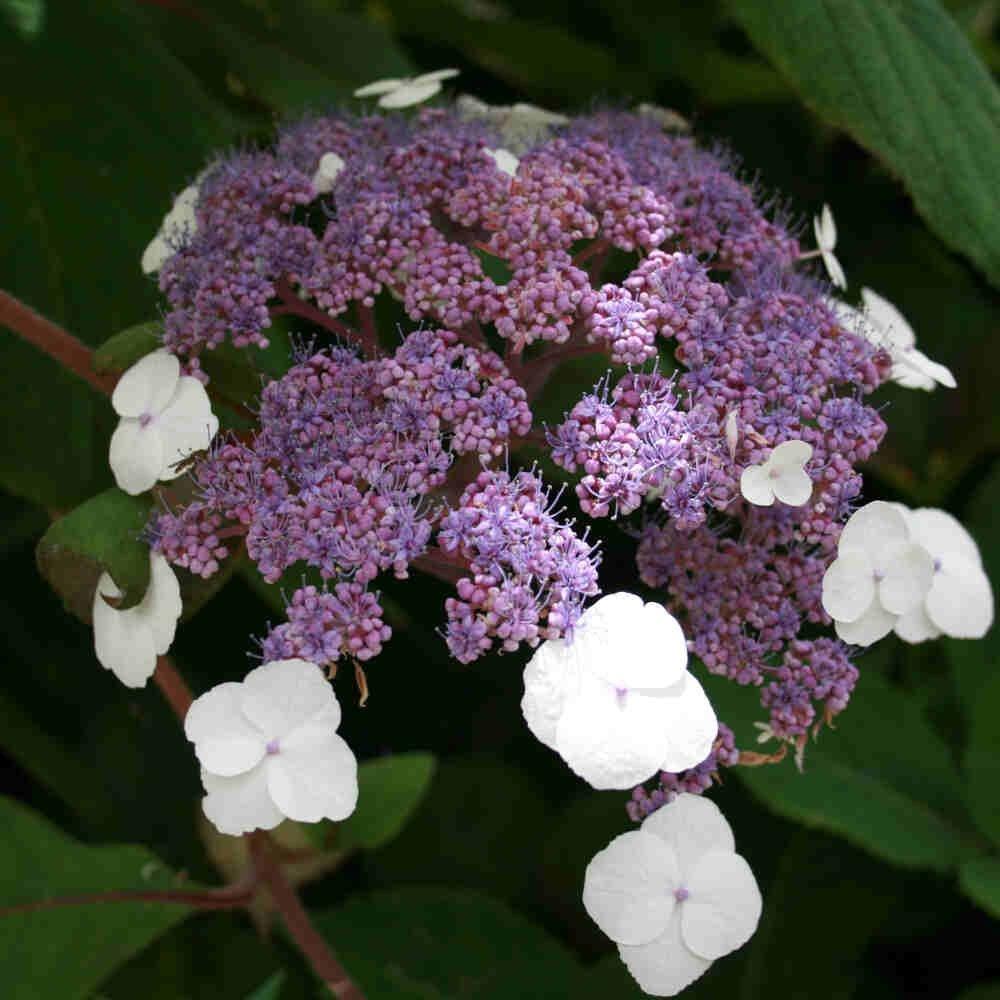 Hortensia - Hydrangea aspera 'Macrophylla'
