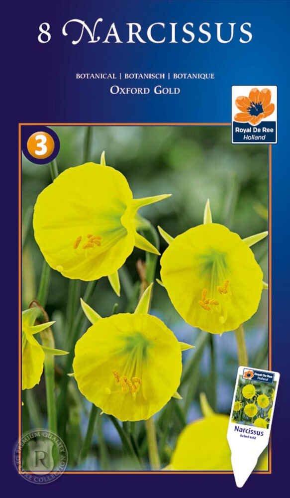 Påskeliljeløg - Narcissus Oxford Gold - botanisk - 8/+