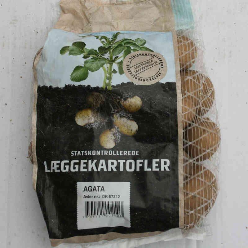 Agata er den rigtige tidlige  samsø kartoffel