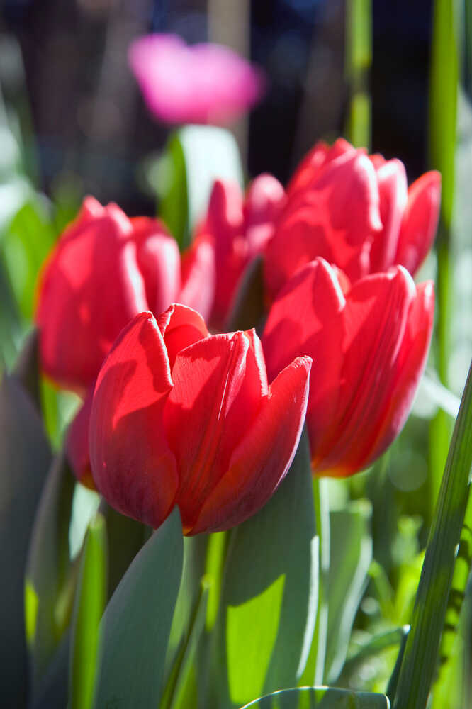 Tulipanløg - Tulipa  Couleur Cardinal 12/+  10stk