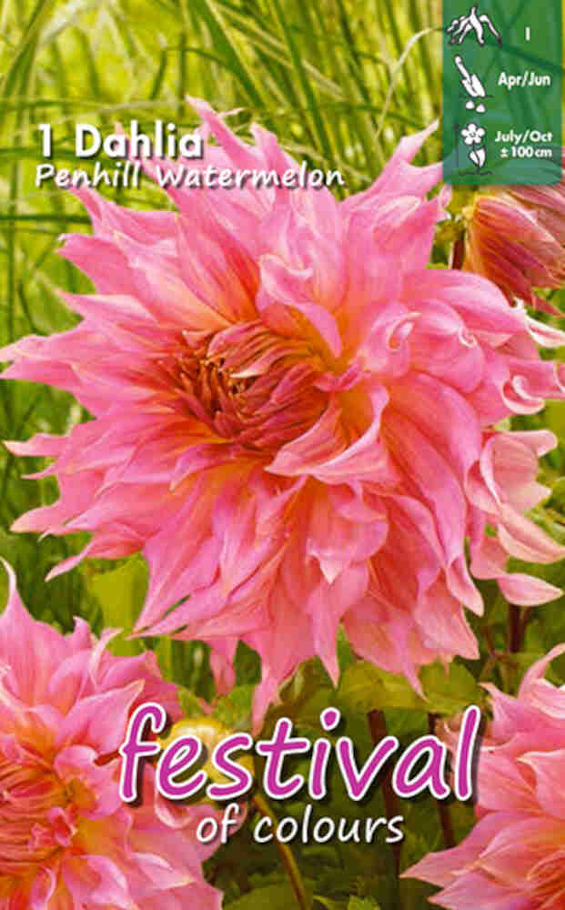 Dahlia Penhill Watermelon Decorative