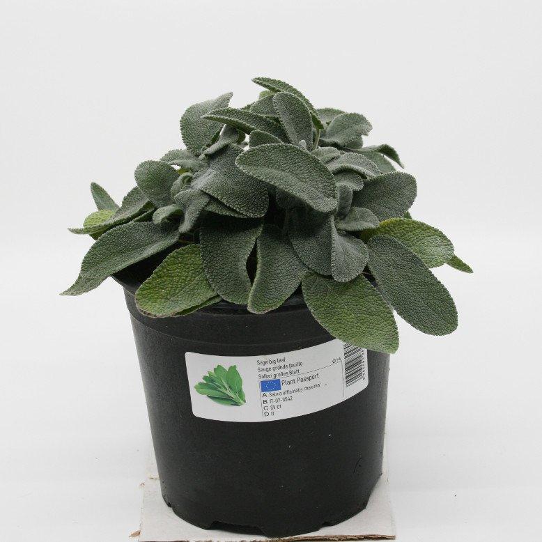 Salvie storbladet - Salvia officinalis 'Maxima' - 14cm potte