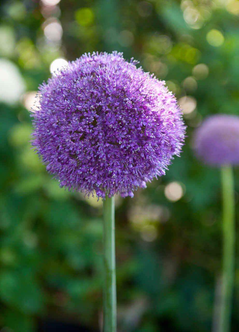 Prydløg - Allium  Giganteum (20/+)