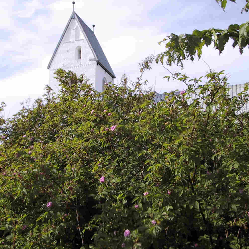 Kanelrose - rose majalis 'Stadil Kirke'
