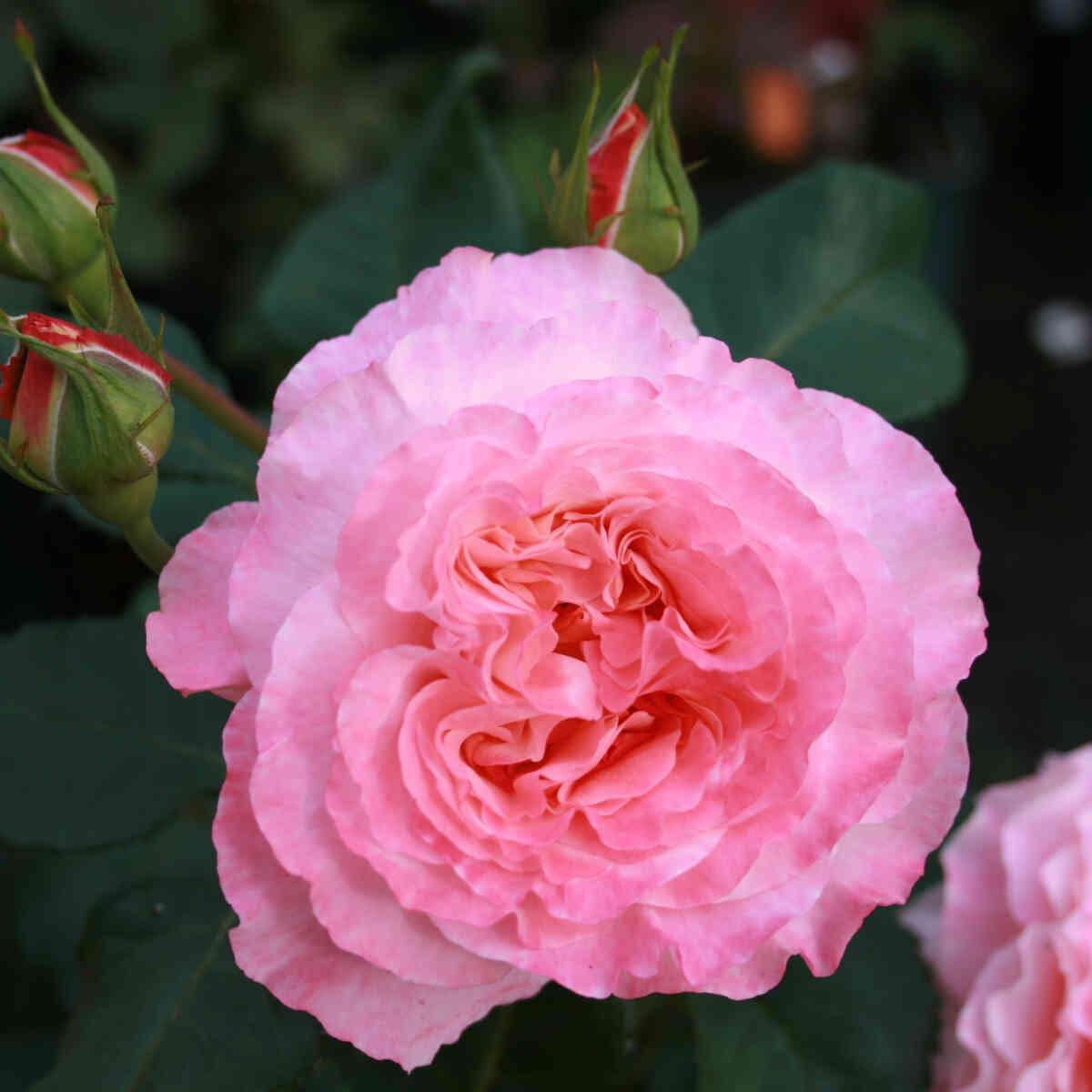 Næsten udsprunget blomst i Augusta Louise rosen