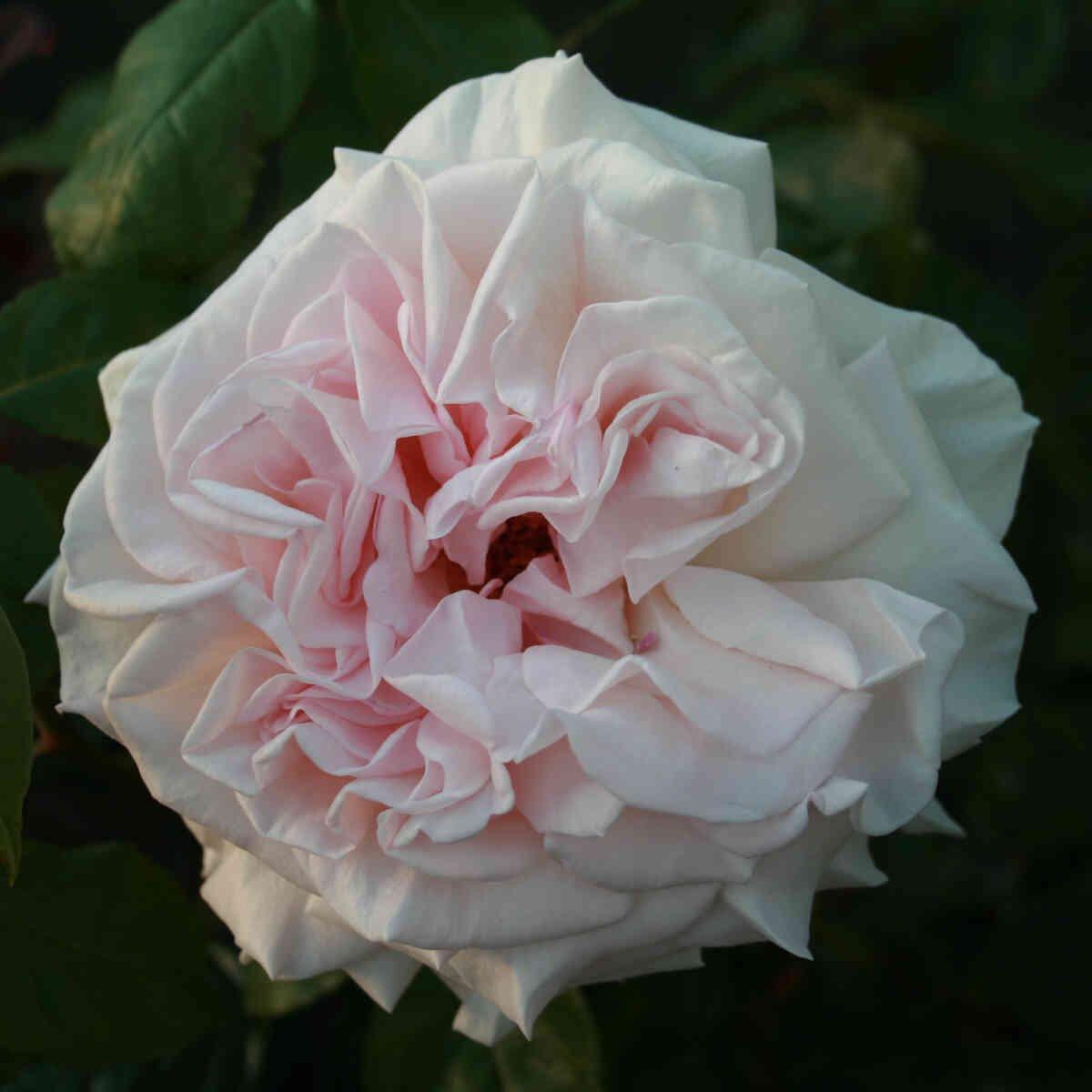 Rose 'Prince Jardinier'