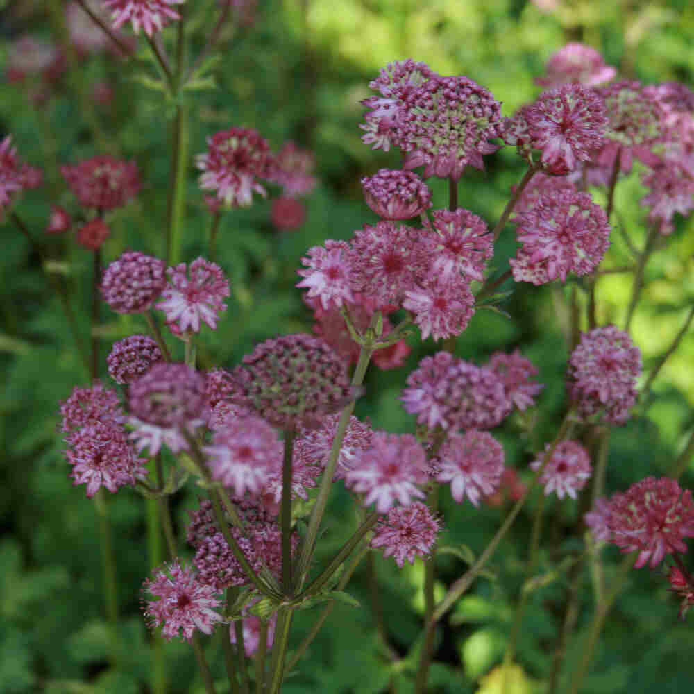 Stjerneskærm - Astrantia hybrid 'Star of Beauty'®
