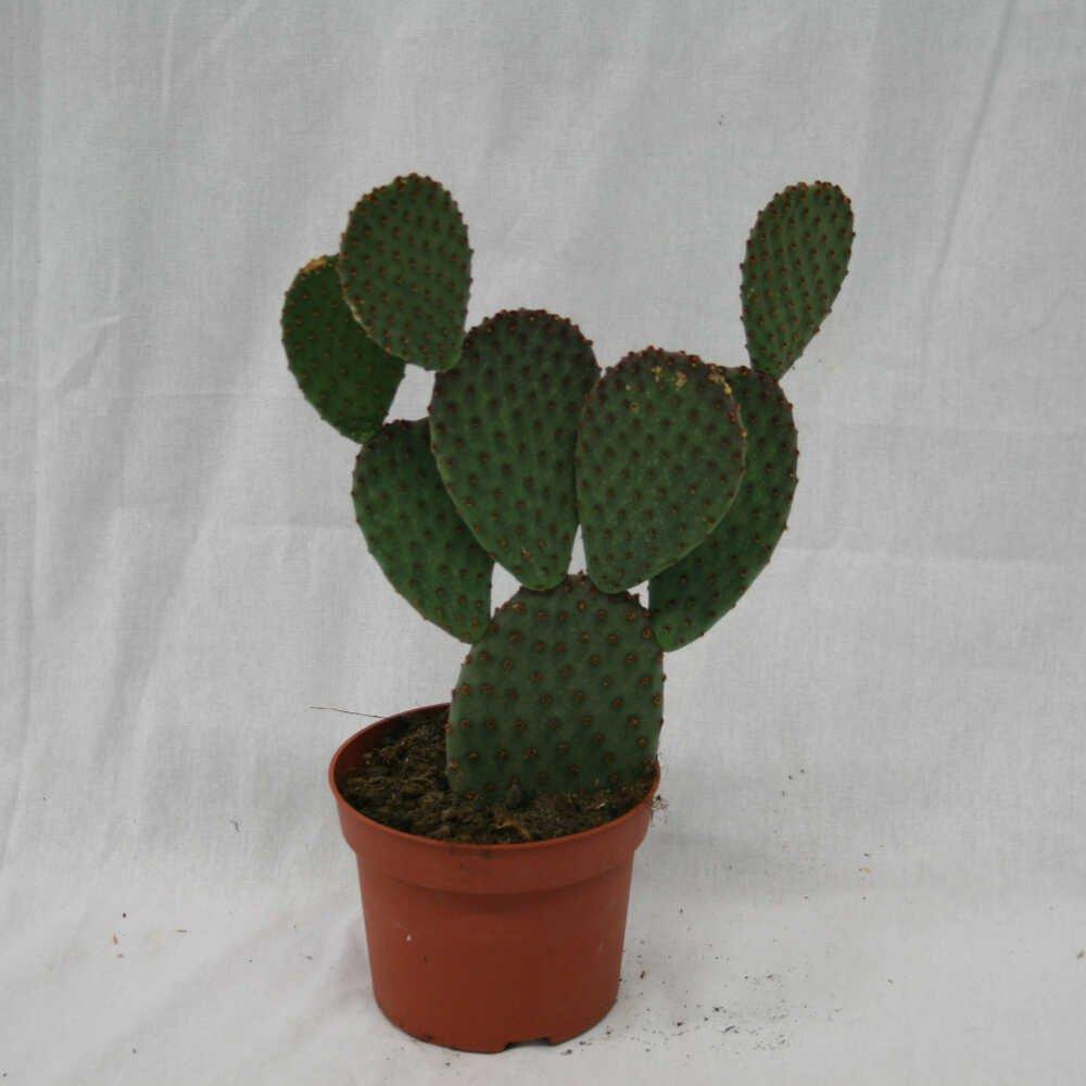 Figenkaktus - Opuntia microdasys -10cm potte