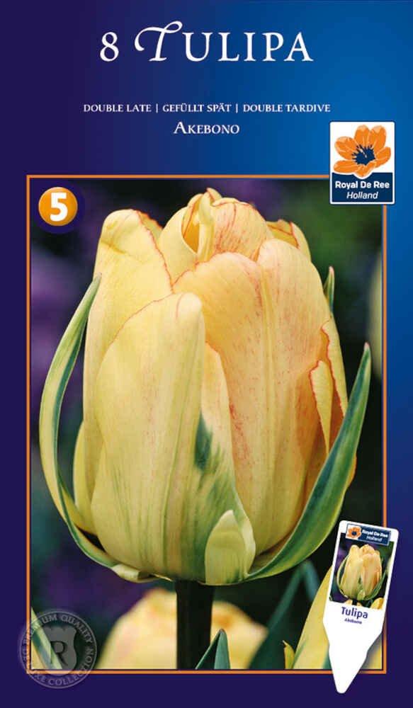 Tulipanløg - Tulipa Akebono 12/+
