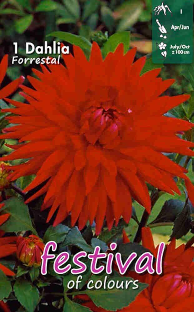 Dahlia Forrestal (Semi)Cactus