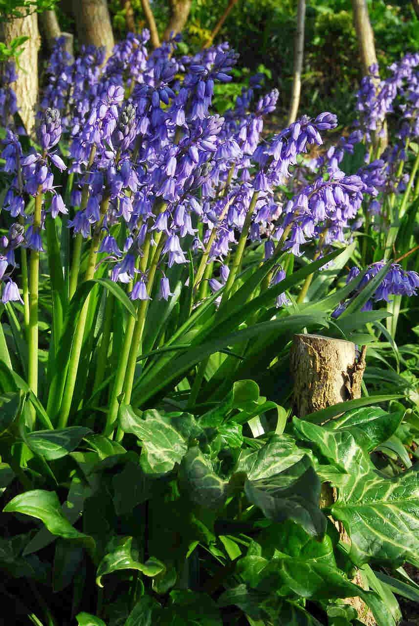 Spansk klokkeskilla - Hyacinthoides  hispanica 'Blue' (8/10)