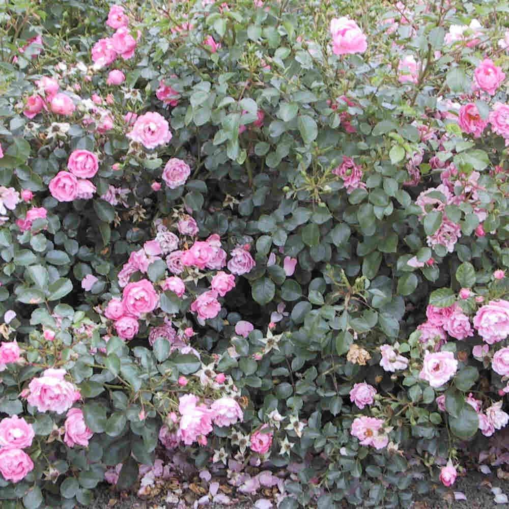 Bunddække Rose 'Sommervind'