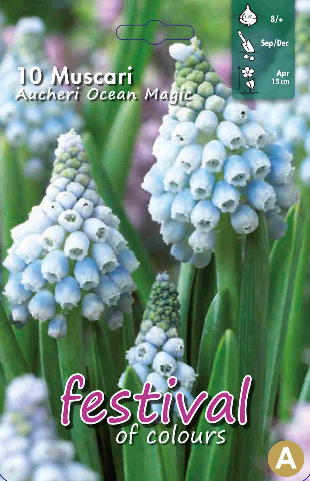 Perlehyacint - Muscari Ocean Magic 8+