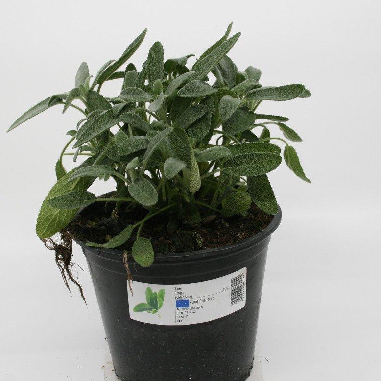 Salvie - Salvia officinalis - 14cm potte