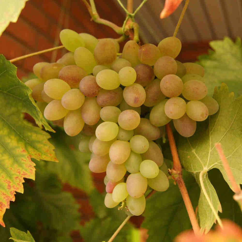 Vindrueplante - Vitis vinifera 'Rhea'
