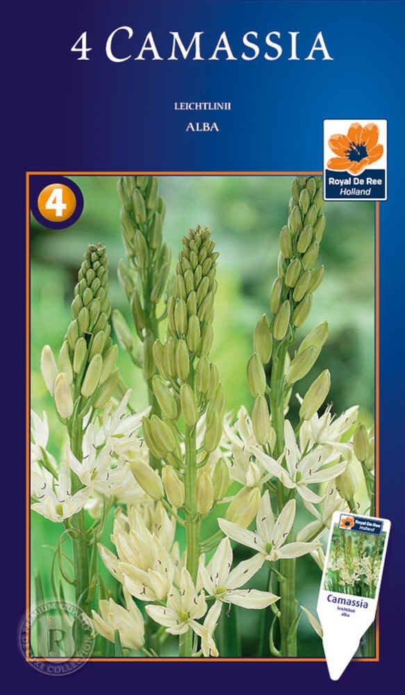 Prærielilje - Camassia leichtlinii alba 12/+