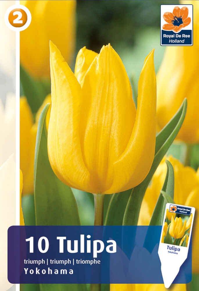 Tulipanløg - Tulipa Yokohama 11/12
