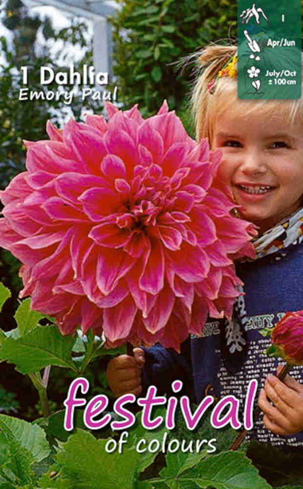 Dahlia Emory Paul Decorative