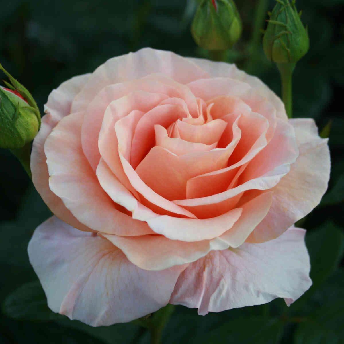 Smuk rosen blomst i Bengali
