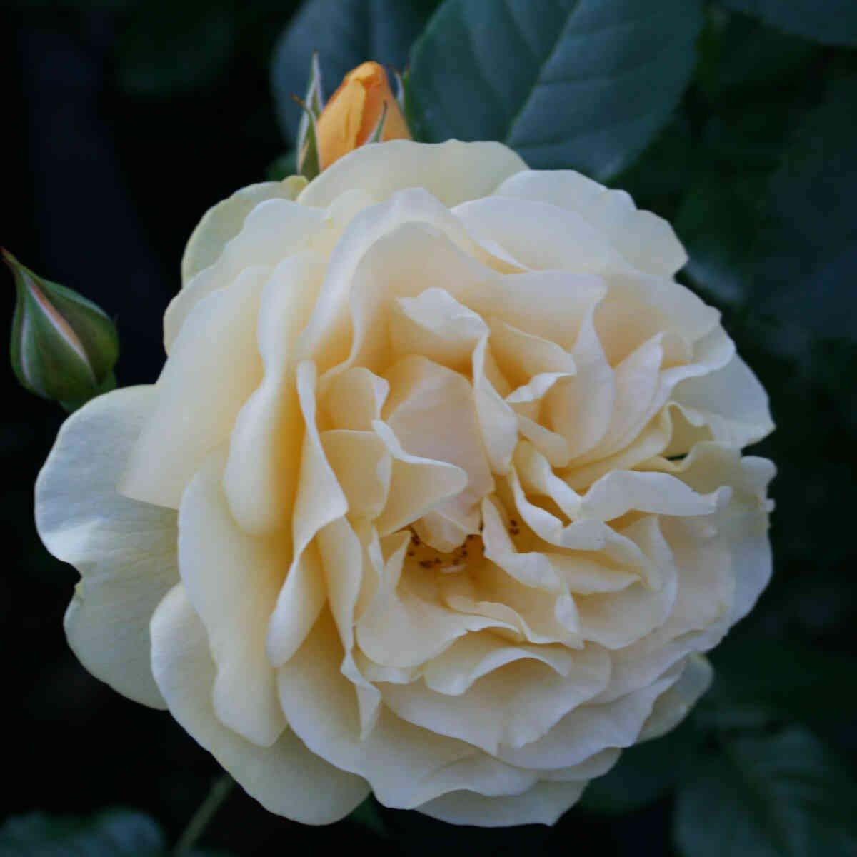 Helt udsprunge blomst i Absolutely Fabolous