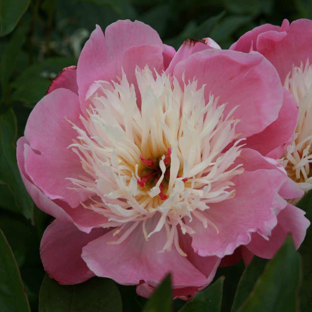 Silkepæon - Paeonia lactiflora 'Bowl of Beauty'