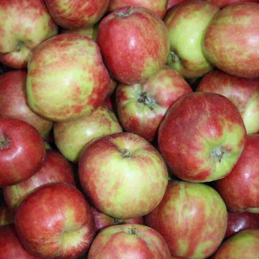 Æbletræ - Malus domestica 'Rød Gråsten'