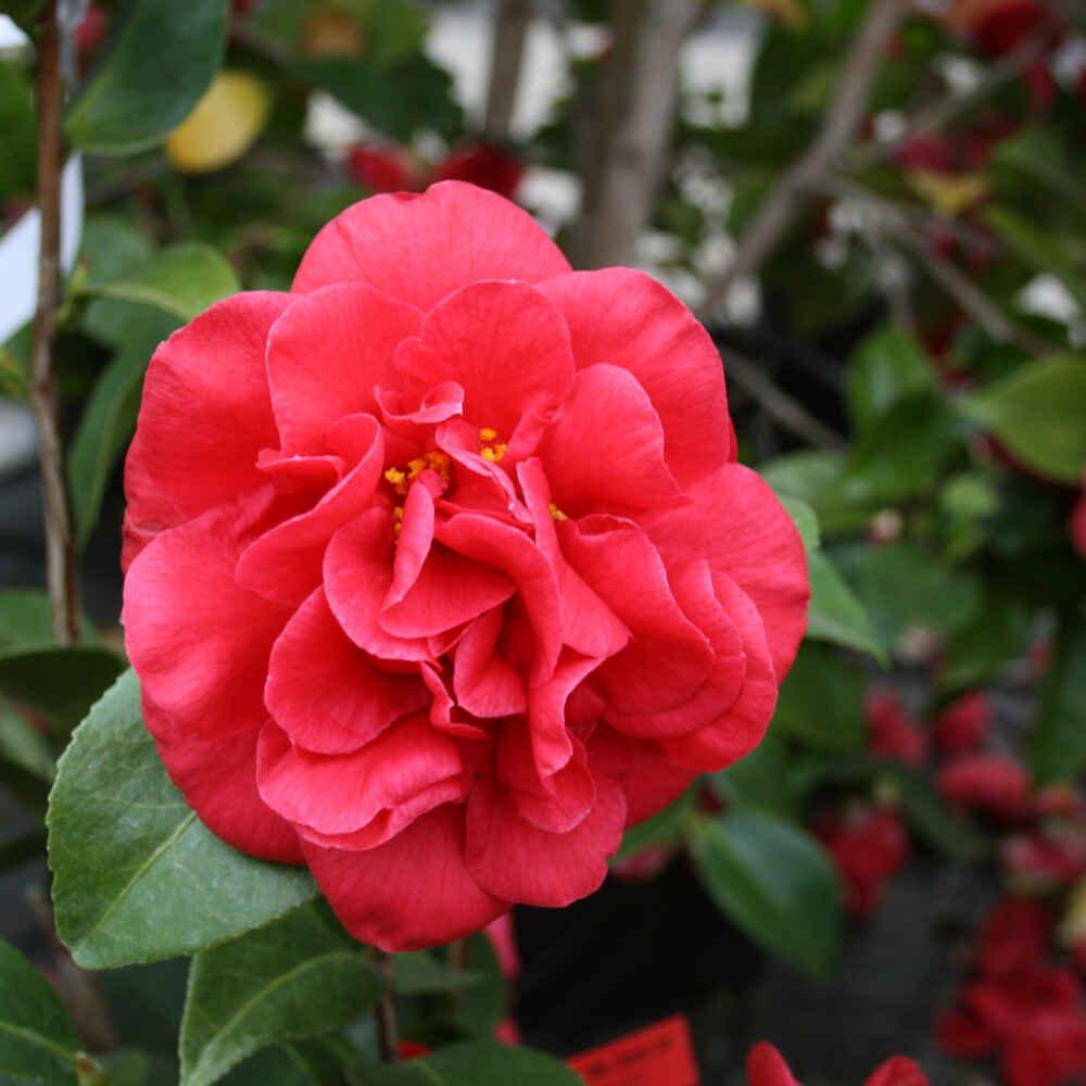 Kamelia - Camellia japonica 'Mrs. Charles Cobb'