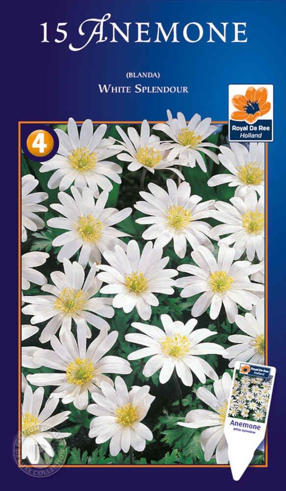 Anemone Blanda White Splendour 5/+