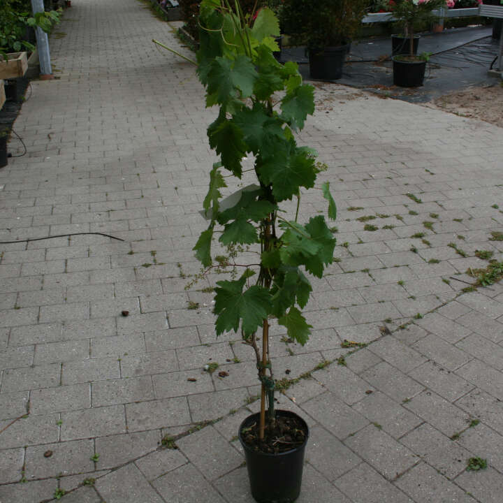 Vindrueplante - Vitis vinifera 'Frumoasa alba'