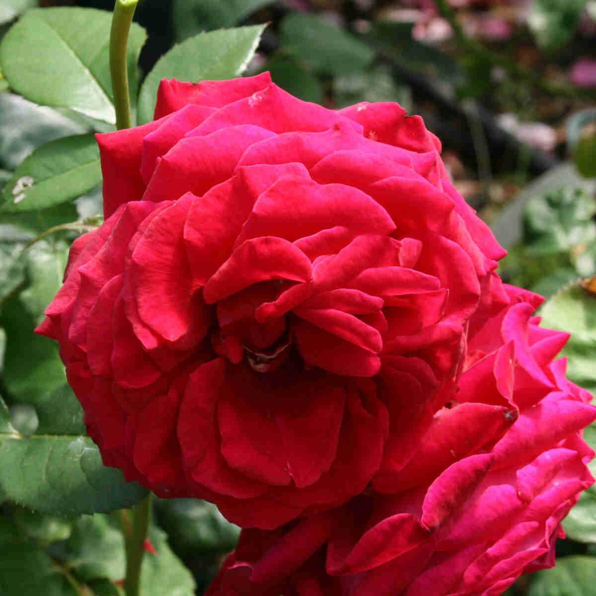 Rose 'Kathrine Renaissance'