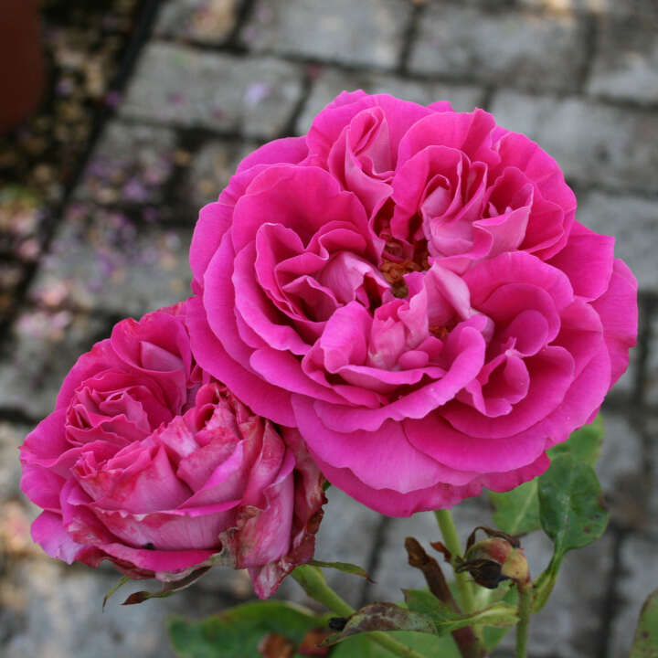 Historisk rose 'Paul Neyron'