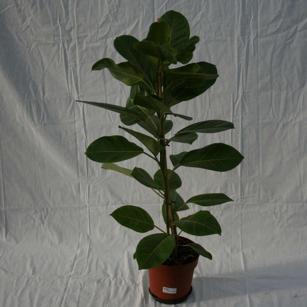 Gummiplante - Ficus