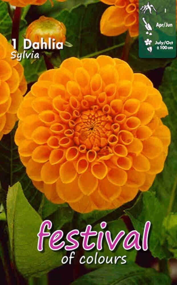 Dahlia Sylvia Ball