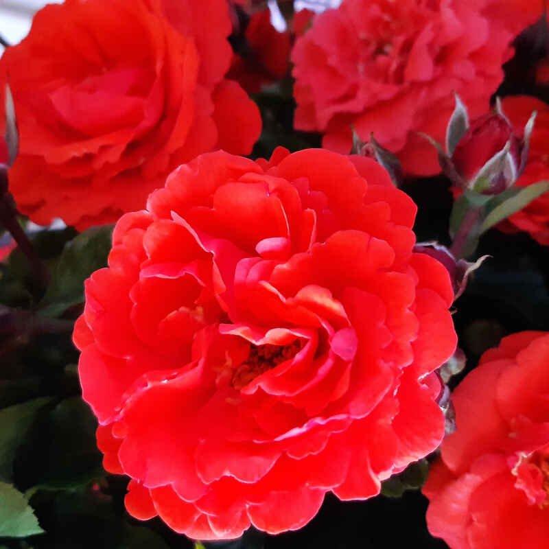 Smukke blomster i rosen Minna Renaissance