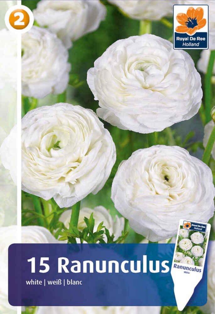 Ranunkel - Ranunculus White 5/6