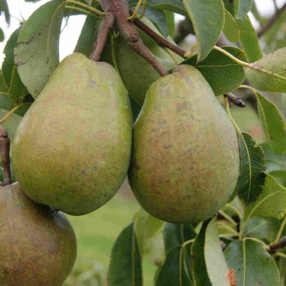 Pæretræ - Pyrus communis 'Alexander Lucas'
