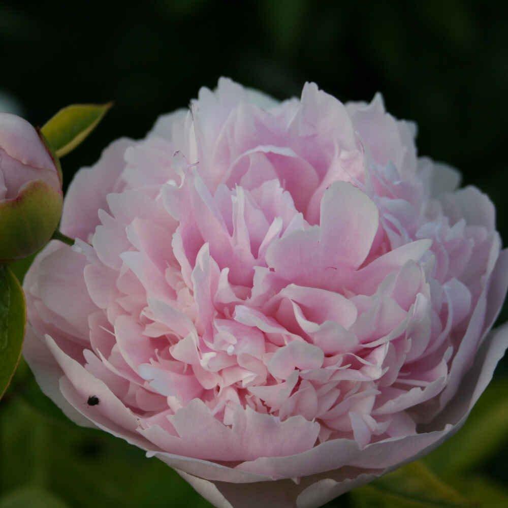 Silkepæon - Paeonia lactiflora 'Angel Cheeks'