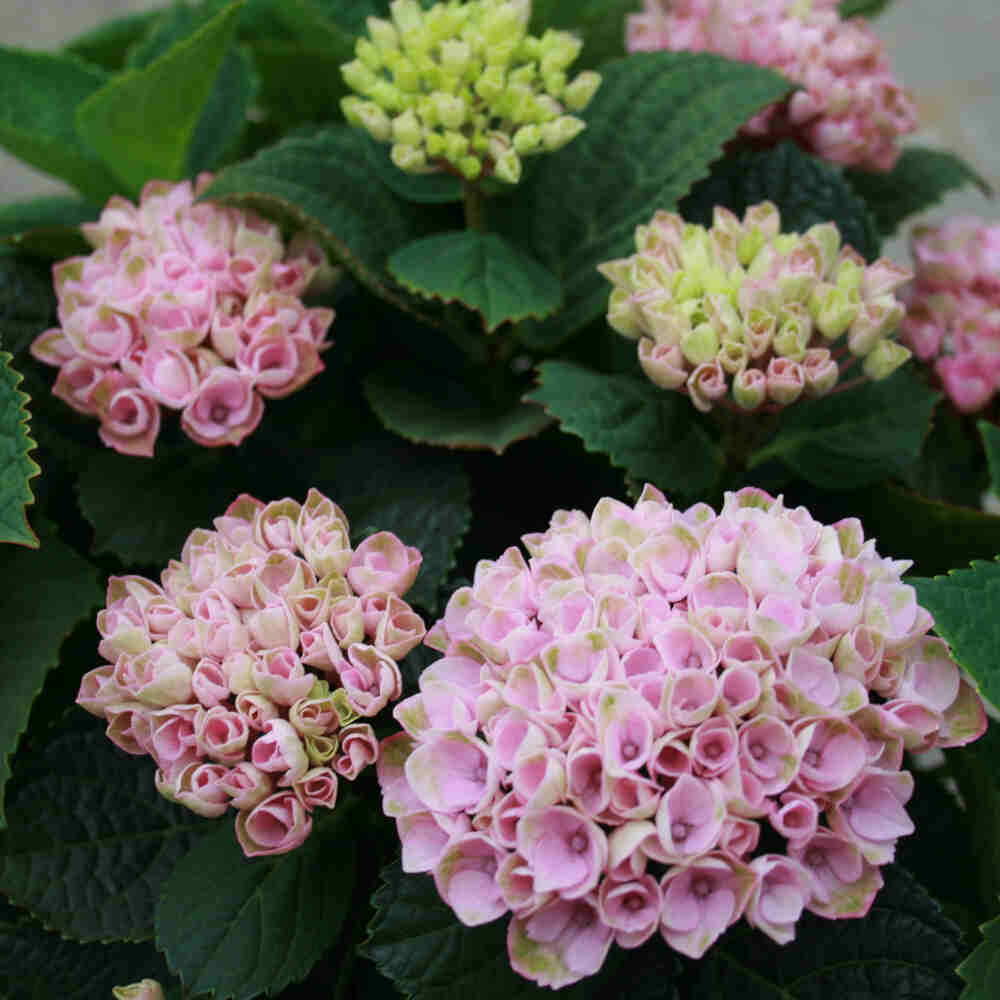 Hortensie - Hydrangea magical Four Seasons 'Revolution'