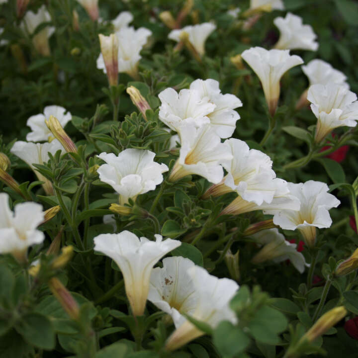 Petunie mini - Calibrachoa hybrid Hvid