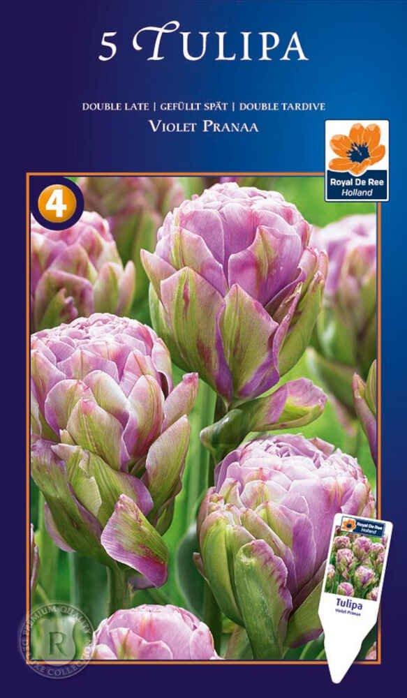 Tulipanløg - Tulipa Violet Pranaa 12/+