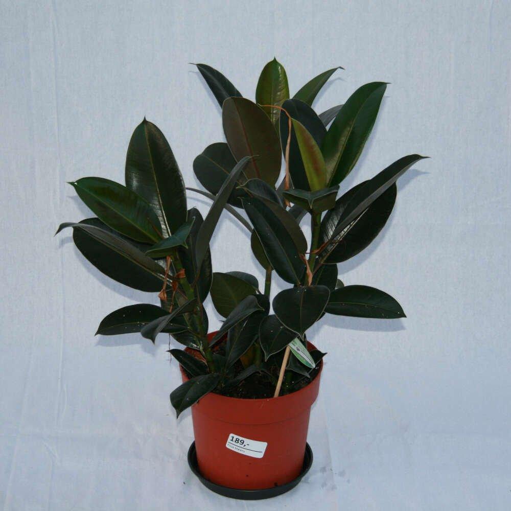 Gummiplante - Ficus elastica 'Melany'