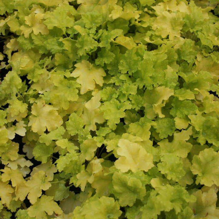 Alunrod - Heuchera hybrid 'Lime Marmalade'®