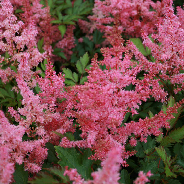 Astilbe arendsii 'Younique Pink'®